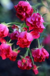 rose rain drop
