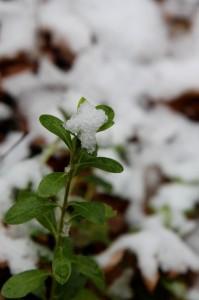 snow leaves5