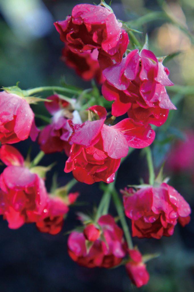 roses-in-rain